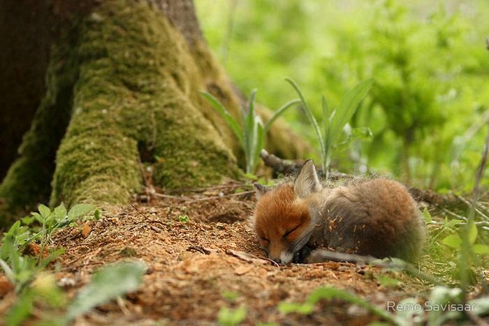 Спящая лиса.