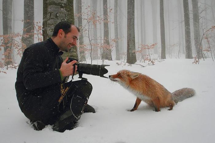 Лисица и фотограф.