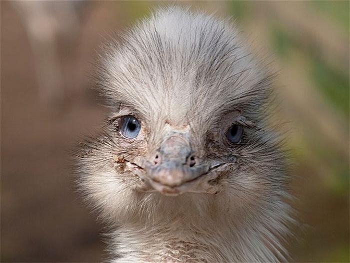 смеющийся страус