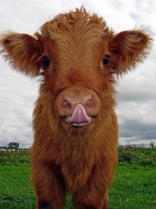 Улыбающийся теленок с высунутым языком
