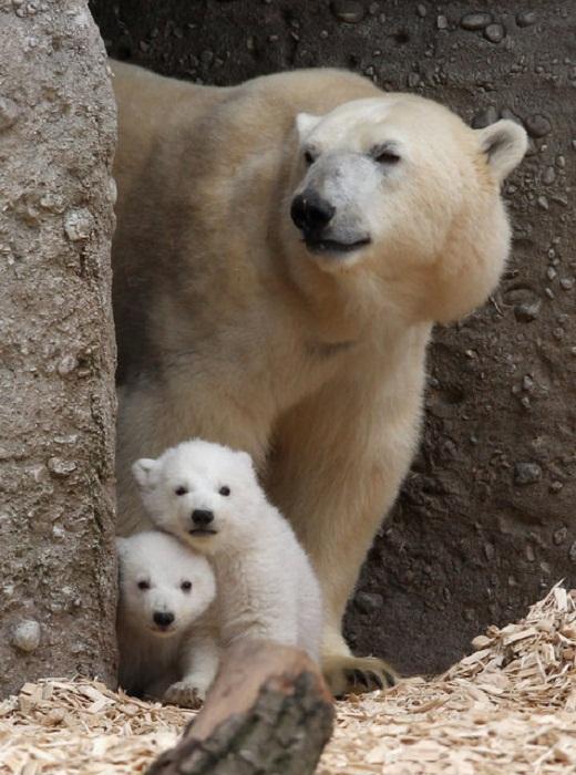 Полярные медвежата, фотографии Alexandra Beier