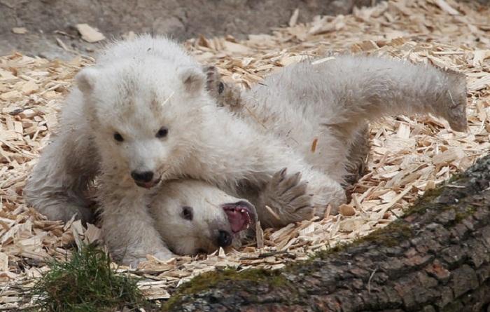 Полярные медвежата, первая фотосессия