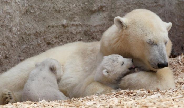 Двухнедельные полярные медвежата