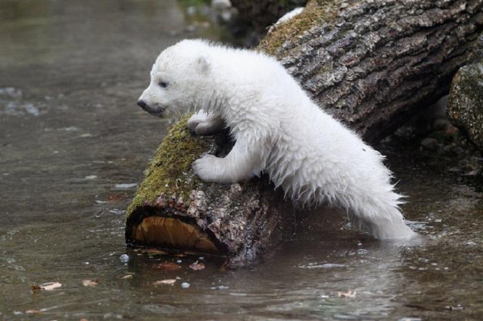 Купание полярного медвежонка