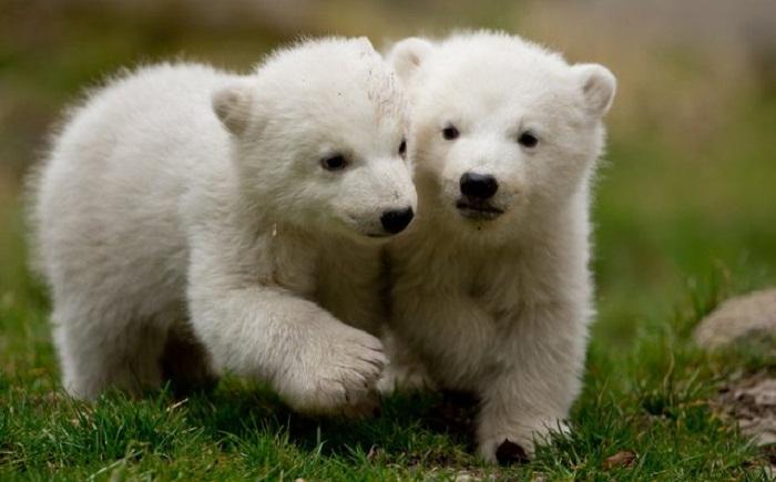 Полярные медвежата - близнецы