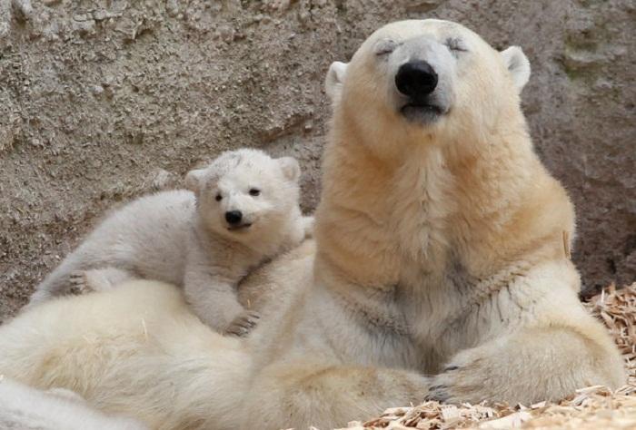 В зоопарке Hellabrunn родились полярные медвежата