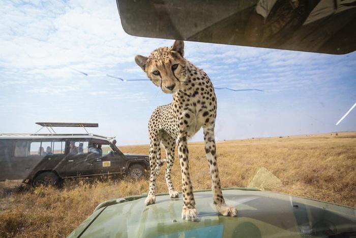 Любопытный гепард на фотографиях Bobby-Jo Clow