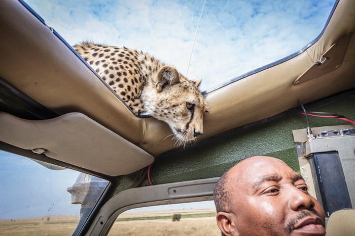 Гепард на сафари