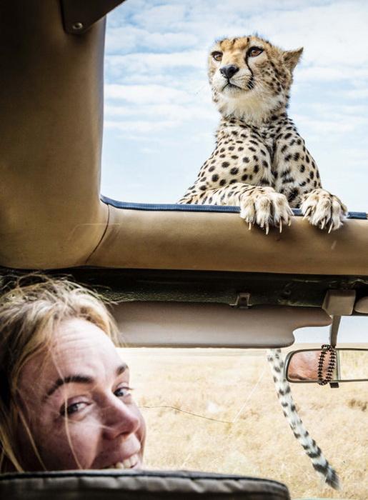 Любопытный гепард на сафари
