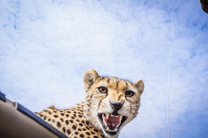 Гепард на крыше автомобиля