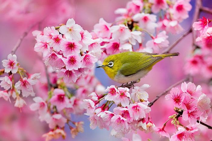 Птица на сакуре.