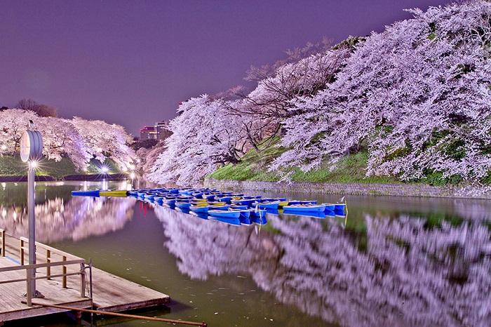 Цветение сакуры в Японии.