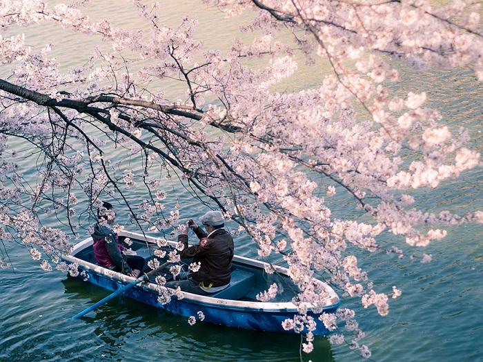 Сакура над озером.