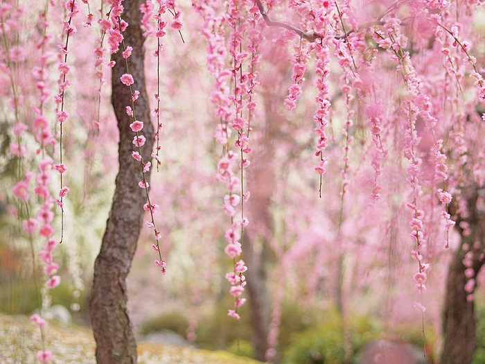 Цветущая сакура.