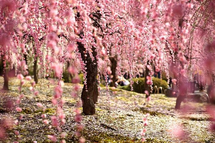Цветение сакуры, Япония.
