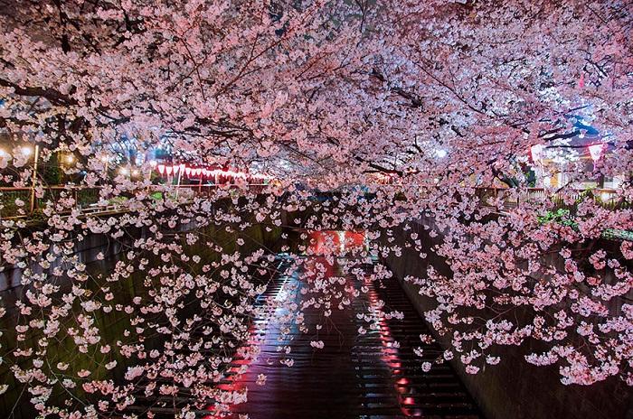Сакура, цветение.