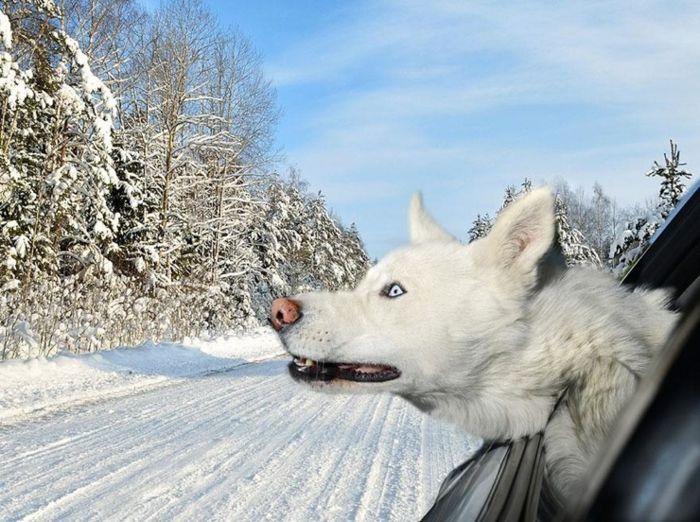 Фотографии из серии Dogs in Cars