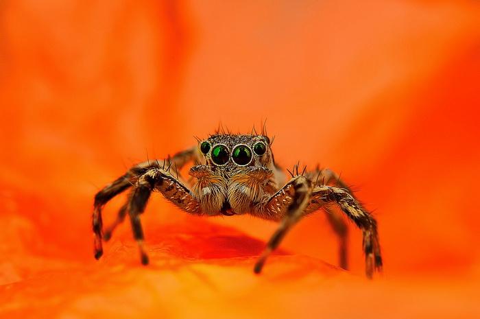 Макроснимки паучков от фотографа Jimmy Kong