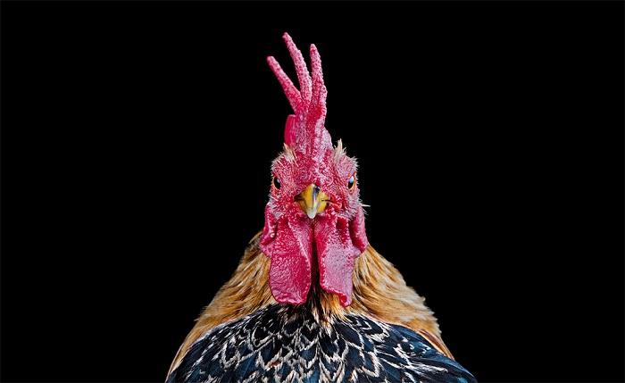 Петух от фотографа Ernest Goh. Куриный конкурс красоты.