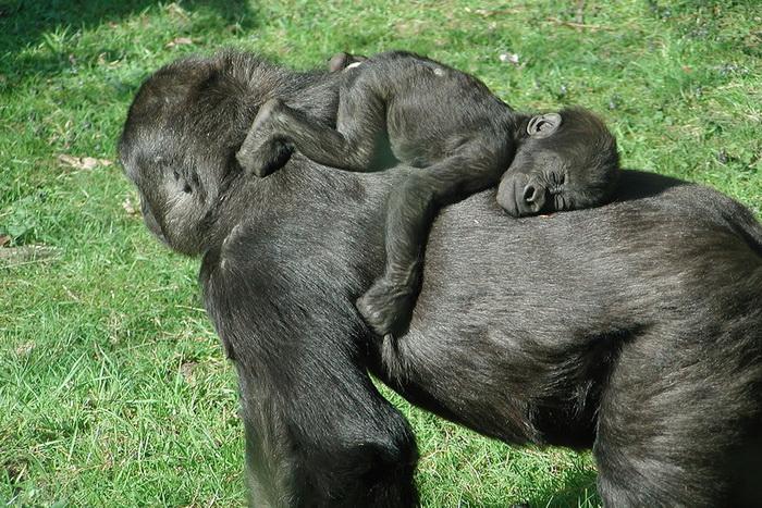 орангутанги: мама с детенышем