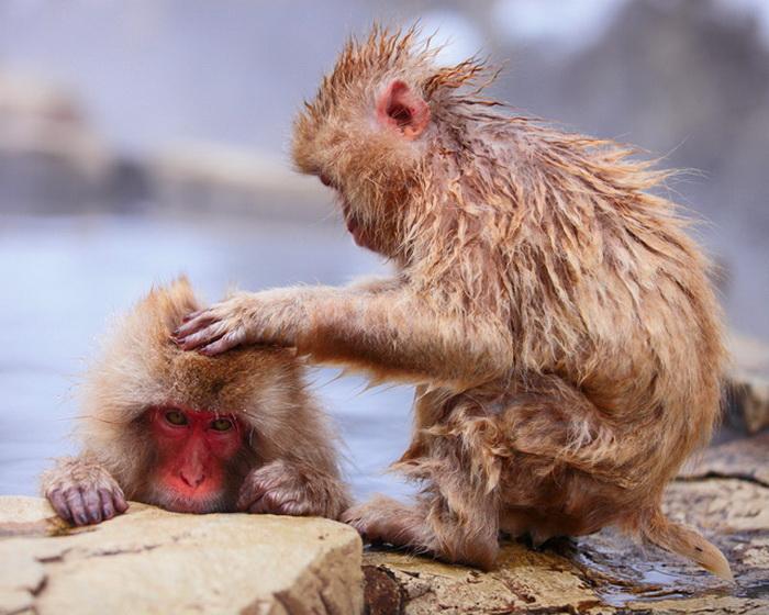 Снежные обезьяны на прогулке в Jigokudani Monkey Park