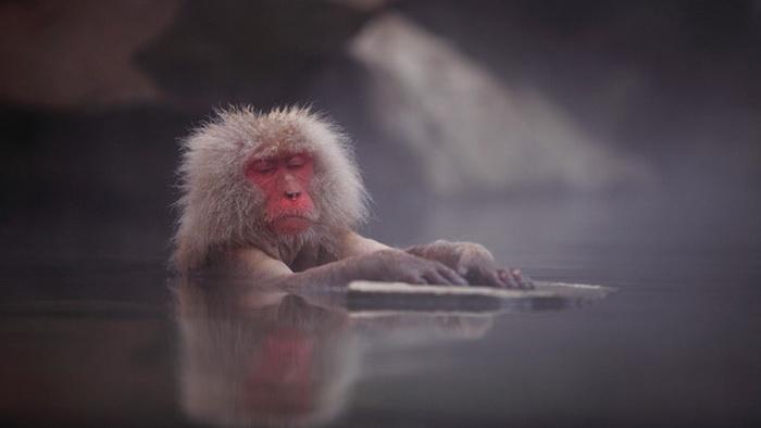 Фотосессия снежных обезьян