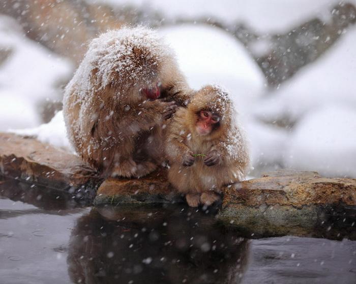 Снежные обезьяны в Jigokudani Monkey Park