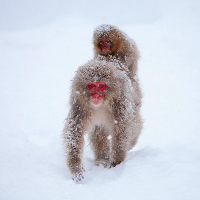 Оригинальные снимки снежных обезьян
