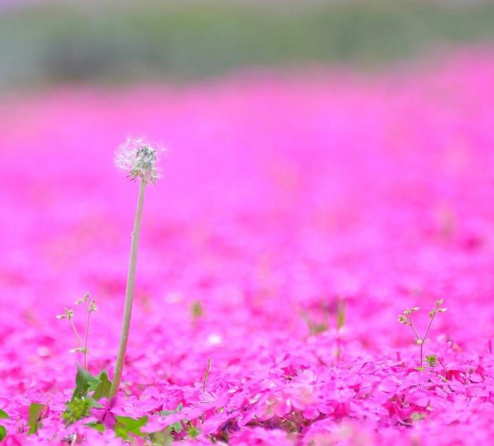 Цветение сакуры в Японии: весна идет, весне дорогу.