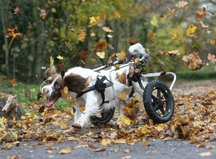 Собака-оптимистка без задних ног