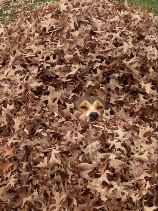 Пес прячется в осенней листве