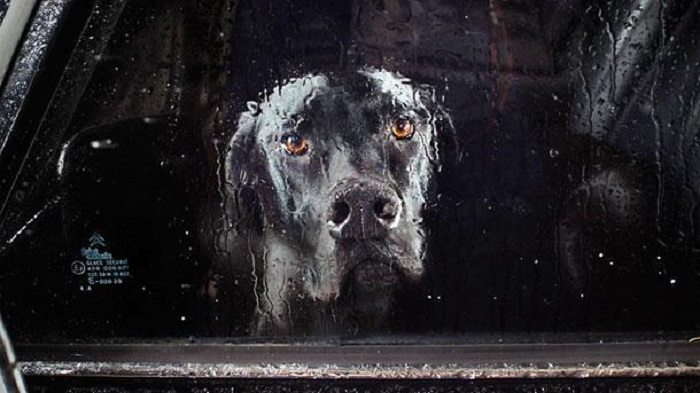 Собака в запертом автомобиле.