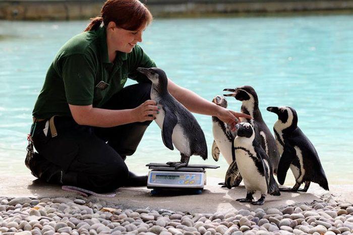 Пингвины на взвешивании