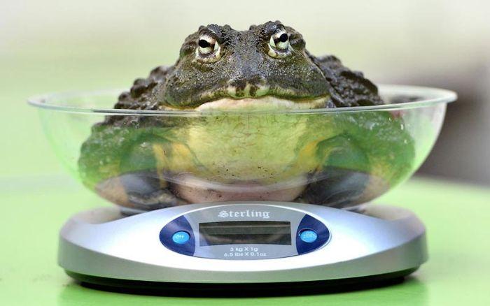 Взвешивание жабы