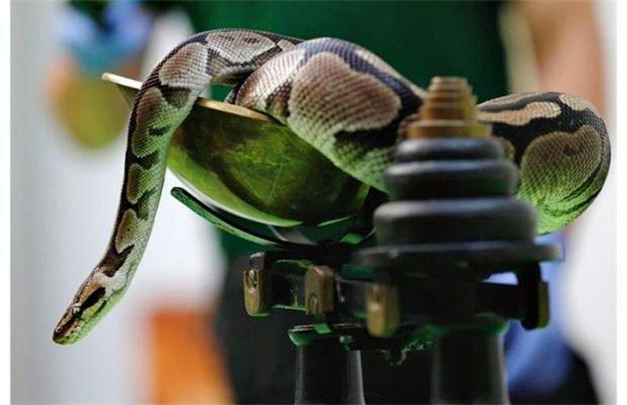 Взвешивание змеи