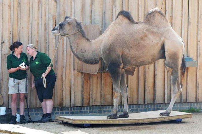 Верблюд на весах