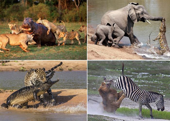 Схватки между дикими животными