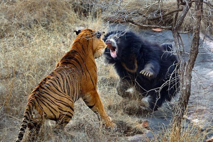 Медведица защищает берлогу от тигра