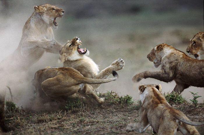 Схватка львиц в заповеднике