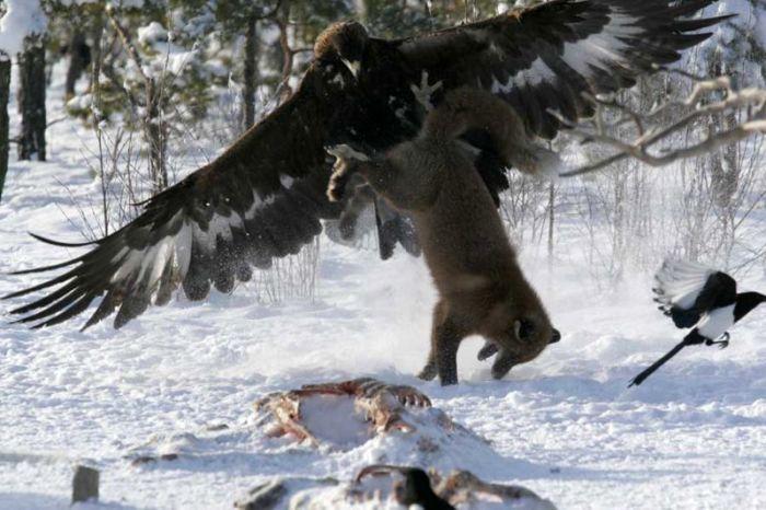 Орел и лиса: битва за добычу