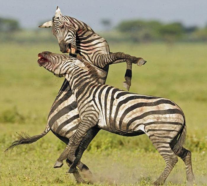 Битва двух зебр