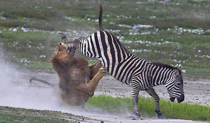 Зебра и лев