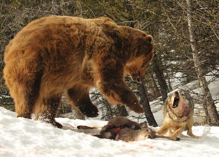 Волк и медведь делят косулю