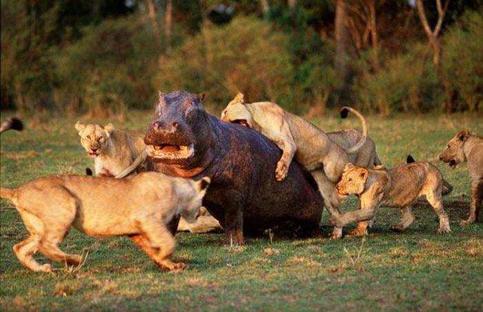 Бегемот среди львиц