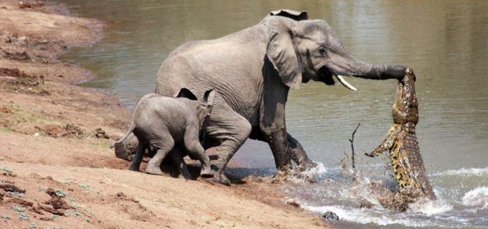 Слониха защищает слоненка от крокодила
