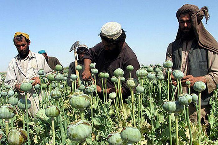 Афганские фермеры на маковом поле заняты извлечением опия-сырца.