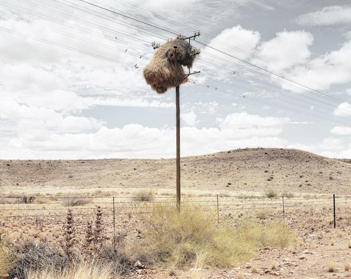 Общественные ткачи вьют свои гнезда вокруг телеграфных столбов.