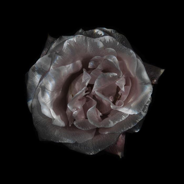 Розы лишают пигмента по специально разработанной фотографом технологии