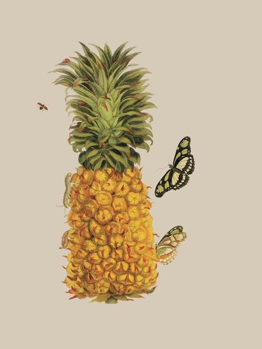Изображение ананаса из книги «Metamorphosis insectorum surinamensium» Марии Сибиллы Мериан