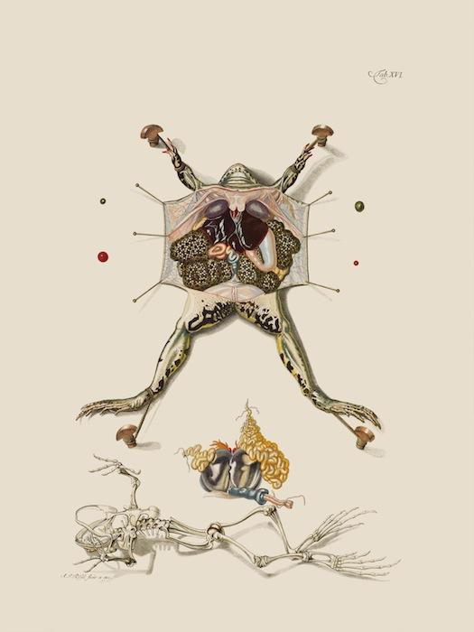 Препарированная лягушка. Резель-Розенгоф, «Historia naturalis ranarum nostratium» (1758)